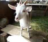 Фото в Домашние животные Другие животные продается козочка, родилась 7 апреля в Тюмени 3000