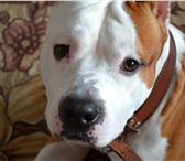 Фото в Домашние животные Вязка собак Молодой кобель ищет подружку для вязки, с в Нижнем Тагиле 1