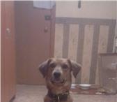 Фото в Домашние животные Вязка собак 4 года 2 месяца, среднего роста, рыжий цвет в Омске 0