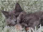 Котята породы мейн-кун редкого окраса 4382520 Мейн-кун фото в Иркутске