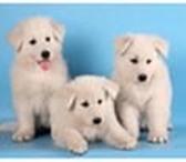 Фотография в Домашние животные Приму в дар Возьму в добрые руки щенка породы белой швейцарской в Балашов 0