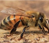Foto в Домашние животные Другие животные Пчелоферма, на рынке 10 лет. гарантия качества.Пчелопакеты в Оренбурге 2500