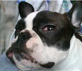 Фотография в Домашние животные Услуги для животных Французкий бульдог,  девочка,  2года,  окрас- в Новокуйбышевске 0
