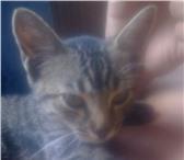 Foto в Домашние животные Потерянные 5 июня пропала кошка(10мес), в районе стамотологии в Сочи 500