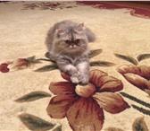 Фотография в Домашние животные Вязка Кошка персидская! Ищет кота. в Нижнем Новгороде 0