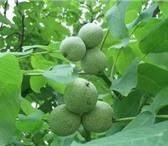 Фото в Домашние животные Растения продам районированный грецкий орех Идеал в Саратове 300