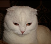 Изображение в Домашние животные Вязка Очень срочно ищем шотланского вислоухого в Сибай 1000