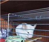 Изображение в Домашние животные Грызуны Шиншилла (белерозовый) мальчик + клеткаПо в Астрахани 0