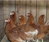 Фото в Домашние животные Птички Куры-несушки Хайсекс, возраст 11-12 мес,отличная в Тольятти 190