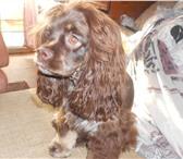 Фото в Домашние животные Вязка собак ищем мальчика для вязки в Сланцы 0