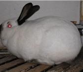 Фотография в Домашние животные Грызуны Кролиководческое хозяйство « Землевед» продает в Ярославле 0