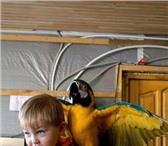 Изображение в Домашние животные Птички Продам попугая Арочка ара за 80 000 руб. в Екатеринбурге 80000