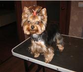 Изображение в Домашние животные Стрижка собак Предлагаем стрижки для собак и кошек,профессиональные в Жуковском 900