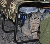 Фотография в Домашние животные Вязка Чистокровный британский кот приглашает на в Москве 1000