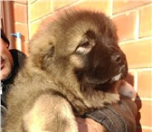 Фотография в Домашние животные Растения Предлагаем на продажу щенков кавказской овчарки в Москве 15000