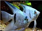 Фотография в Домашние животные Рыбки Продам Скалярий  Уникальный вид элегантных в Москве 80