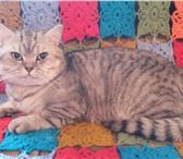 Изображение в Домашние животные Вязка Шотландский прямоухий кот. Клубный, с родословной. в Сочи 3000