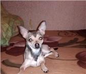 Foto в Домашние животные Вязка собак Молодой и обоятельный той-терьер ищет невесту в Казани 0