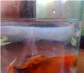 Foto в Домашние животные Рыбки Золотая – 11 см вместе с хвостомДва сома в Екатеринбурге 500