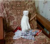 Изображение в Домашние животные Вязка Требуется кот на вязку для Шотландской кошки в Ярославле 0