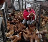 Фотография в Домашние животные Птички Куры молодки 75-85 суток, окрас рыжий, высокая в Тольятти 290