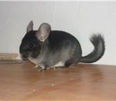 Фотография в Домашние животные Грызуны Ручные шиншиллыЛучший подарок для Вас и Вашего в Саратове 3000
