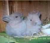 Фотография в Домашние животные Грызуны Продаются карликовые  крольчата Порода кар в Усть-Лабинск 600