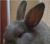 Foto в Домашние животные Грызуны Продам карликового декоративного кролика. в Москве 1000