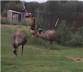 Foto в Домашние животные Птички Продается семья страусов эму.Семья состоит в Рязани 100000