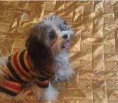Фотография в Домашние животные Вязка собак помесь ши тцу с цветной болонкой.маленький в Казани 0