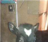 Фотография в Домашние животные Другие животные продам корову 8 месяцев в Рязани 25000