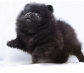 Изображение в Домашние животные Вязка собак АРХАНГЕЛЬСКНемецкий малый шпиц открыт для в Архангельске 5000