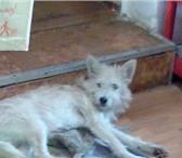 Изображение в Домашние животные Найденные Найдена собачка. Мальчик,   окрас серенький, в Твери 0
