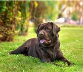 Изображение в Домашние животные Вязка собак Лабрадор ретриверДата рождения 16.05.2016Balinor в Краснодаре 0