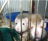 Изображение в Домашние животные Грызуны Продаются забавнючие - красивучие крысята, в Красноярске 200
