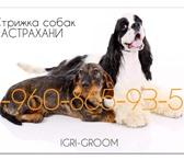 Фото в Домашние животные Стрижка собак 960-865-93-54, стрижки породные, тримминг, в Астрахани 0