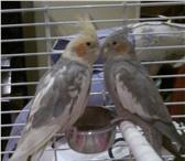 Foto в Домашние животные Птички Продаю двух замечательных попугаев корелл в Улан-Удэ 7000