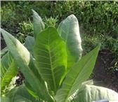 Фото в Домашние животные Растения Семена табака в розницу и оптом по всей России в Владикавказе 40