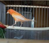 Изображение в Домашние животные Птички Продаю молодого 5 мес.кенара своего домашнего в Балашихе 2300