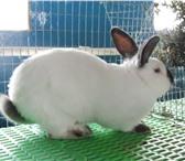 Фотография в Домашние животные Грызуны Особенности калифорнийских кроликов:* более в Москве 400