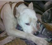 Foto в Домашние животные Найденные Найдена вечером 16 ноября в м/р Гайва сука в Перми 0