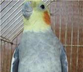 Фотография в Домашние животные Птички Продам попугаев Корелла. Стоимость одной в Екатеринбурге 2500