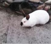 Фото в Домашние животные Грызуны Происхождение. Калифорнийский кролилик выведен в Ставрополе 500