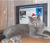 Фотография в Домашние животные Услуги для животных Очаровательный голубой с серебром кот скоттиш-страйт в Заволжье 1000