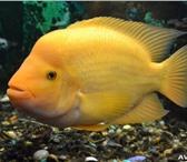 Изображение в Домашние животные Рыбки все рыбы в полном порядке,цена договорная в Липецке 2