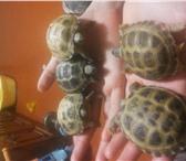 Изображение в Домашние животные Другие животные продам сухопутных черепах не путайте с водяными, в Сыктывкаре 2500