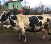Изображение в Домашние животные Другие животные Продаю чистопородную корову. Порода черно-пестрая, в Москве 120000